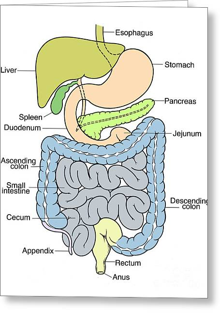 Enhanced Greeting Cards - Illustration Of Abdomen Greeting Card by Science Source