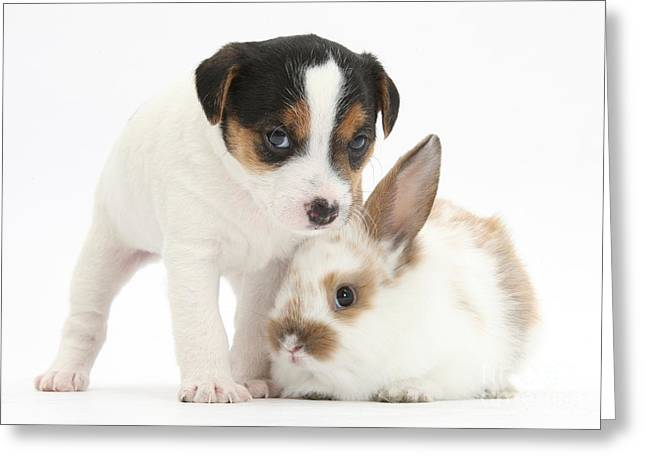 Jack Russell Terrier Greeting Cards - Jack Russell Terrier Puppy And Baby Greeting Card by Mark Taylor