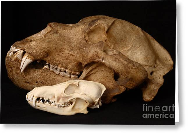 Kodiak Brown Bears Greeting Cards - Kodiak Bear Skull With Coyote Skull Greeting Card by Ted Kinsman