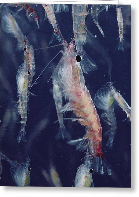 Plankton Greeting Cards - Krill Antarctica Greeting Card by Flip Nicklin