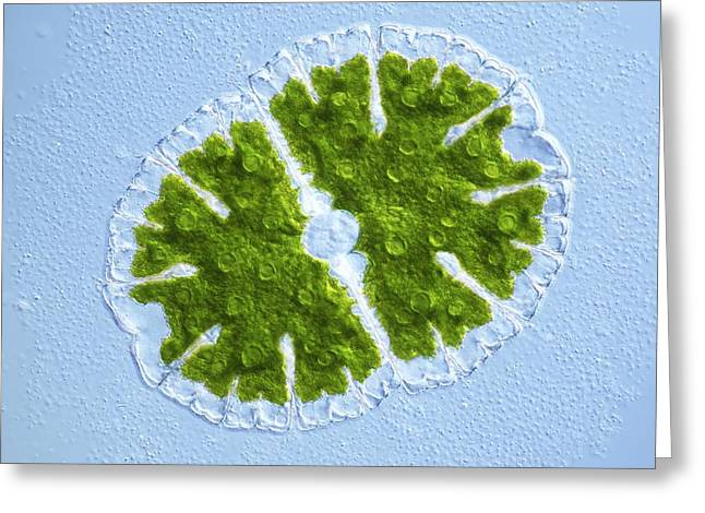 Desmid Greeting Cards - Microsterias Green Alga, Light Micrograph Greeting Card by Frank Fox