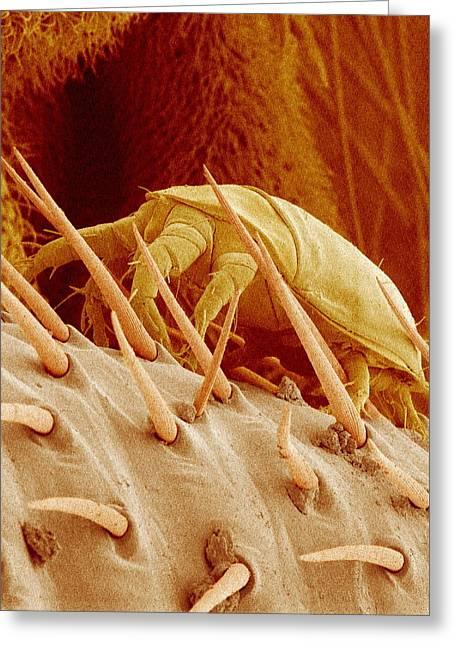 Arachnid Greeting Cards - Mite On A Fly, Sem Greeting Card by Susumu Nishinaga