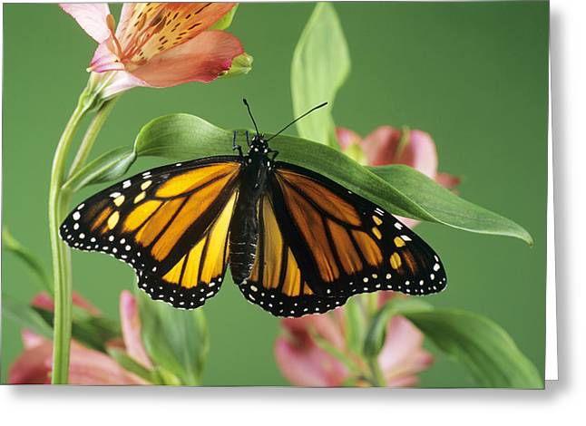 Danaus Plexippus Greeting Cards - Monarch Butterfly Greeting Card by David Aubrey