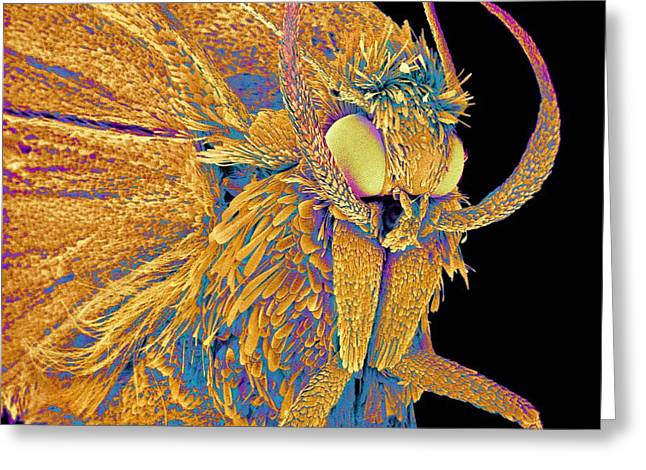 Scanning Electron Micrograph Greeting Cards - Moth, Sem Greeting Card by Susumu Nishinaga