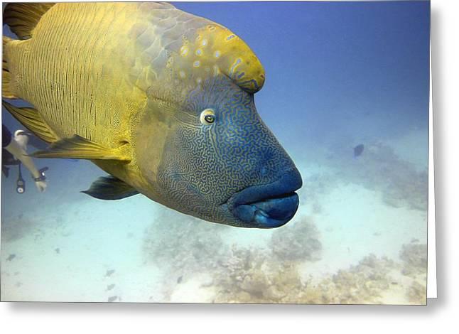 Reef Fish Greeting Cards - Napoleon Wrasse Greeting Card by Dimitris Neroulias