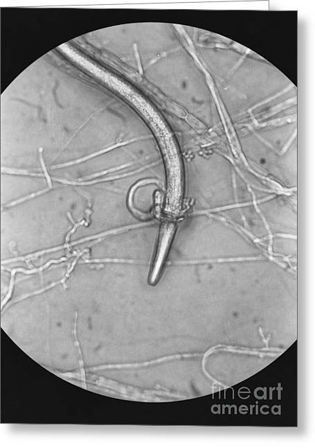 Predacious Greeting Cards - Nematode Snared By Predatory Fungus Lm Greeting Card by Photo Researchers, Inc.