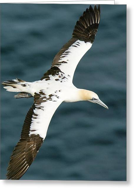 Gannet Greeting Cards - Northern Gannet In Flight Greeting Card by Duncan Shaw