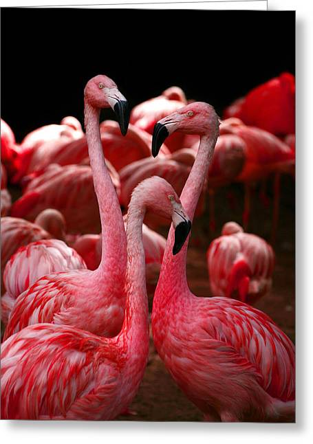 Pink Flamingo Nature Photo Greeting Cards - 3 of Hearts Greeting Card by Lon Casler Bixby