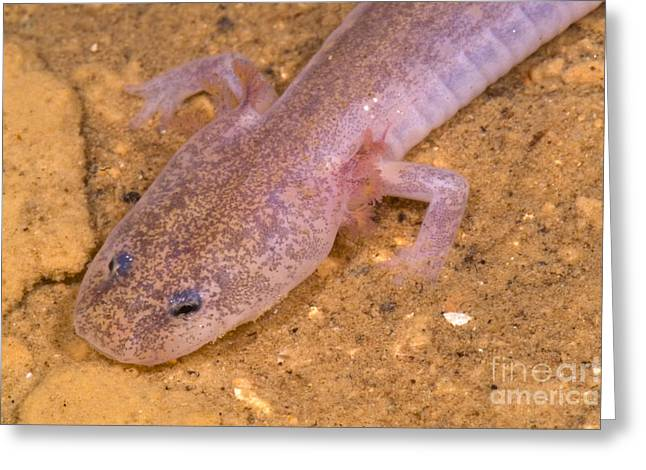 Subterranean Fauna Greeting Cards - Ozark Blind Cave Salamander Greeting Card by Dante Fenolio