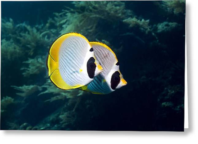 Indonesian Wildlife Greeting Cards - Panda Butterflyfish Greeting Card by Georgette Douwma