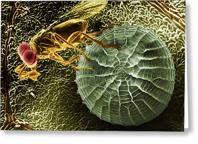 Micrography Greeting Cards - Parasitic Wasp With Egg Greeting Card by Science Source