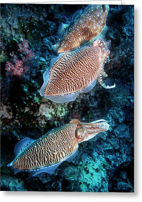 Pharaoh Photographs Greeting Cards - Pharaoh Cuttlefish Greeting Card by Georgette Douwma