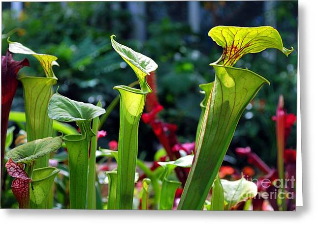 Chicago Botanic Garden Greeting Cards - 3 Pitcher Plants Greeting Card by Nancy Mueller