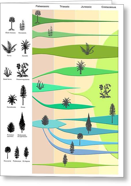 Lineage Greeting Cards - Plant Evolution, Diagram Greeting Card by Gary Hincks