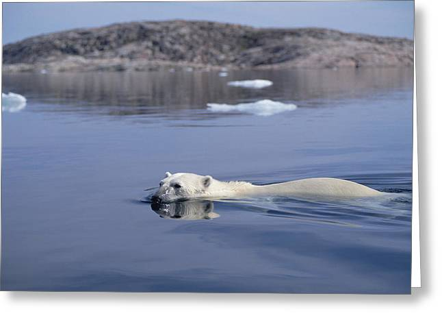Ursidae Greeting Cards - Polar Bear Swimming Wager Bay Canada Greeting Card by Flip Nicklin