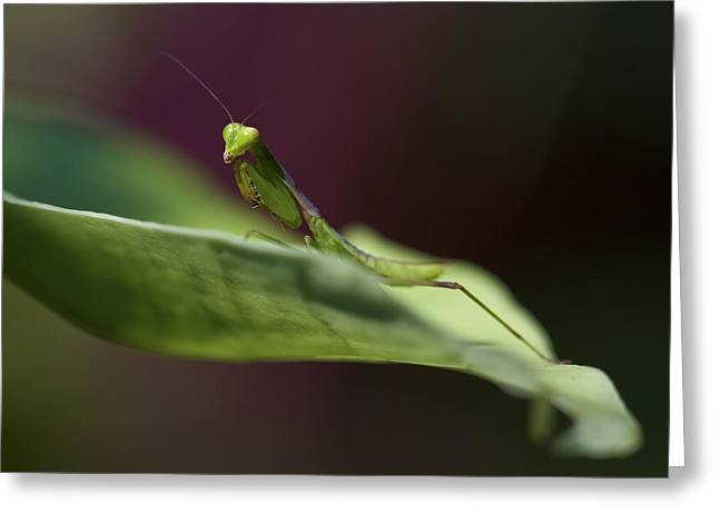 Mantodea Greeting Cards - Praying Mantis Greeting Card by Zoe Ferrie