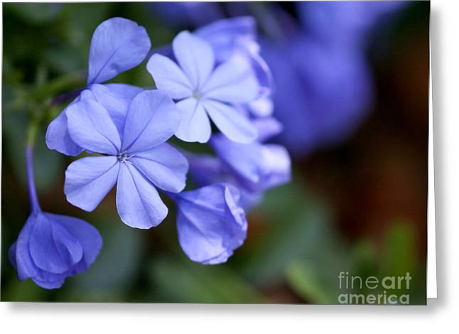 Florida Flowers Greeting Cards - Pretty Plumbago Greeting Card by Sabrina L Ryan