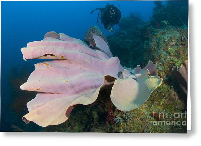New Britain Greeting Cards - Purple Elephant Ear Sponge With Diver Greeting Card by Steve Jones