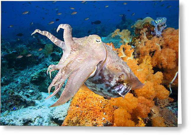 Jet-propelled Greeting Cards - Reef squid Greeting Card by Dave Fleetham - Printscapes