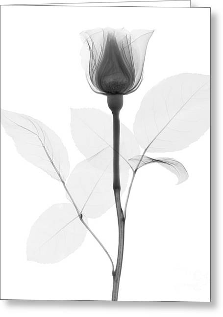 Radiograph Greeting Cards - Rose Greeting Card by Ted Kinsman