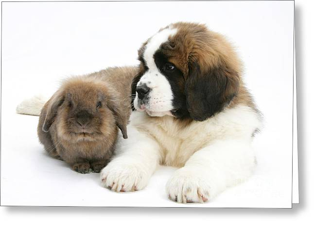 Domesticated Animal Greeting Cards - Saint Bernard Puppy With Rabbit Greeting Card by Mark Taylor