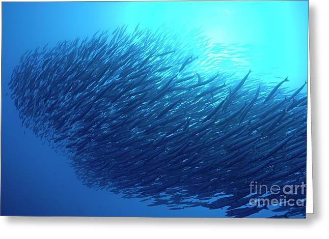 Undersea Photography Greeting Cards - School of Pelican Barracudas Greeting Card by Sami Sarkis