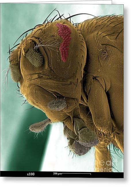 Sem Greeting Cards - Sem Of A Mutant Fruit Fly Greeting Card by Ted Kinsman