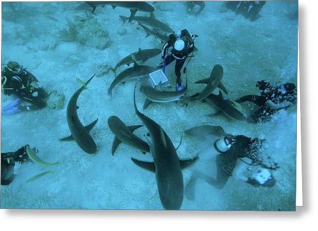Sharks Cove Greeting Cards - Shark Feeding Greeting Card by Alexis Rosenfeld