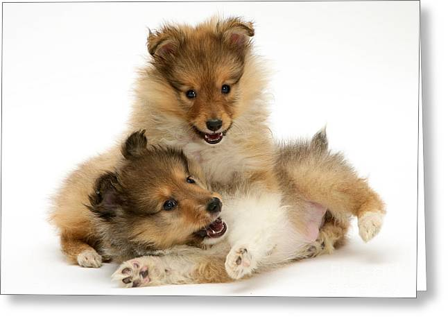 Dog At Play Greeting Cards - Sheltie Puppies Greeting Card by Jane Burton