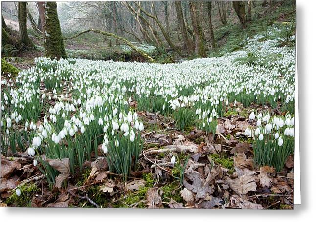 Somerset - England Greeting Cards - Snowdrops (galanthus Nivalis) Greeting Card by Bob Gibbons