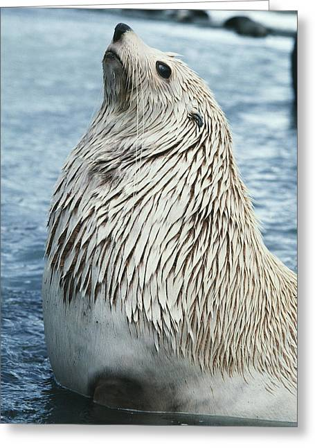 Southern Fur Seal Greeting Card by Doug Allan