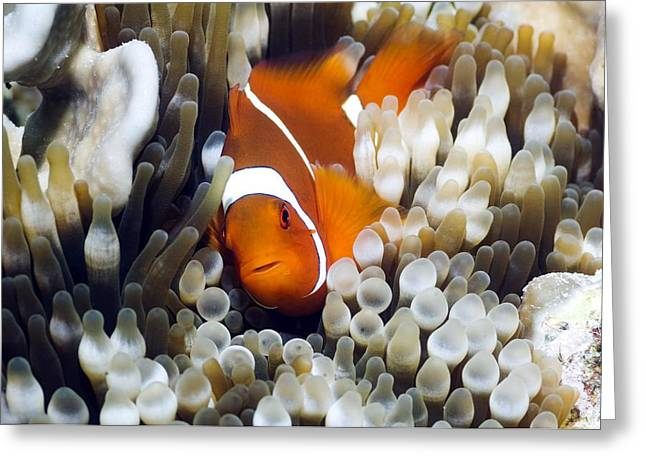 Bony Fish Greeting Cards - Spinecheek Anemonefish Greeting Card by Georgette Douwma