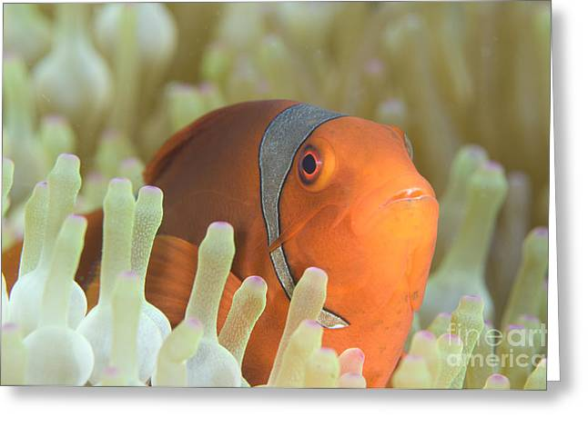 Spinecheek Anemonefish In Anemone Greeting Card by Steve Jones