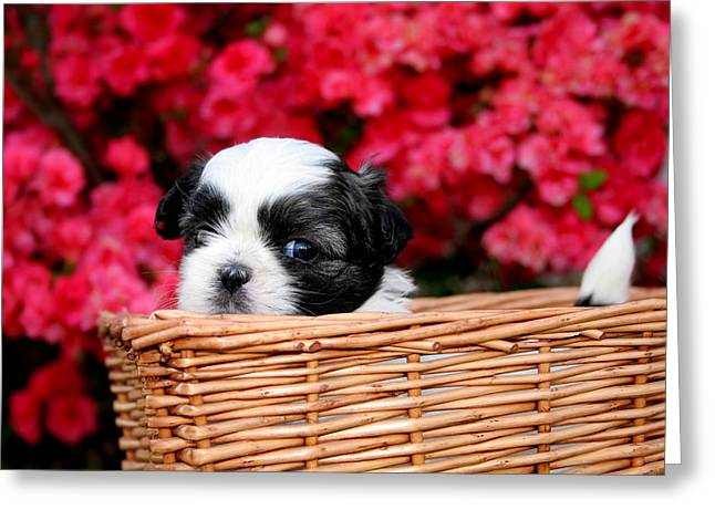 Lap Dogs Greeting Cards - Spring Puppy Greeting Card by Darren Fisher