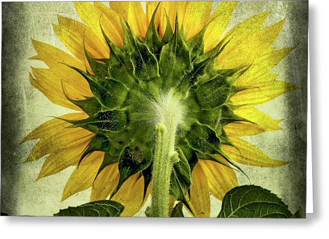 Back Photographs Greeting Cards - Sunflowers  Greeting Card by Bernard Jaubert