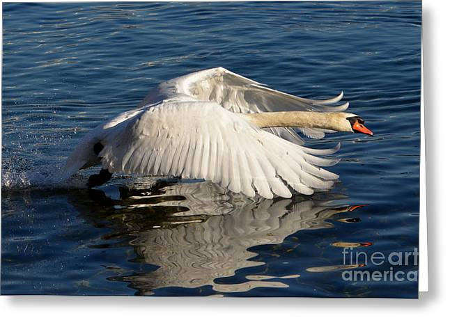 Take Action Greeting Cards - Swan Greeting Card by Mats Silvan
