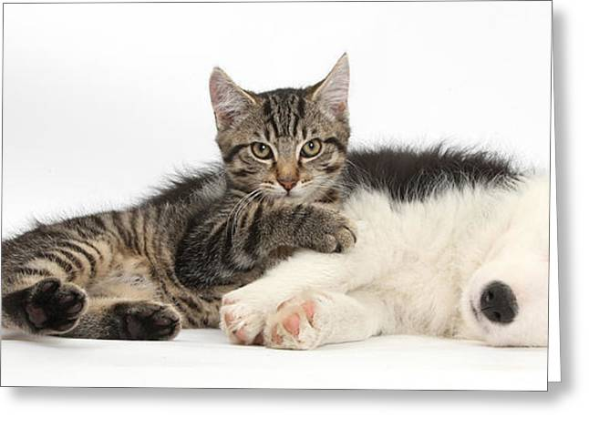Breeds Greeting Cards - Tabby Kitten & Border Collie Greeting Card by Mark Taylor