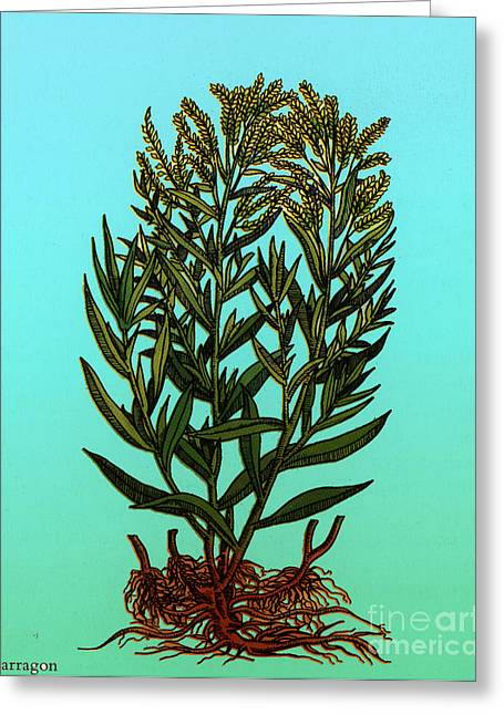 Carotene Greeting Cards - Tarragon, Perennial Herb Greeting Card by Science Source