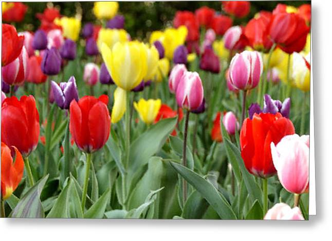 College Avenue Greeting Cards - Tulip Garden University of Pittsburgh  Greeting Card by Thomas R Fletcher