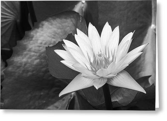Nature Center Pond Photographs Greeting Cards - Water Lily Greeting Card by Bill Brennan - Printscapes