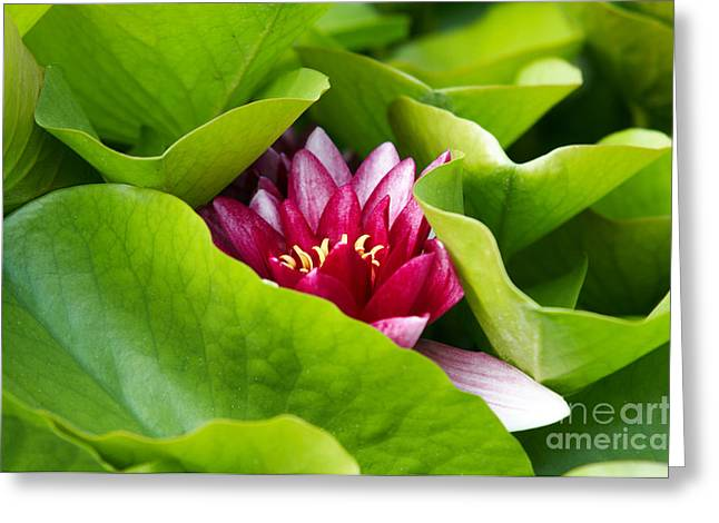 Nenuphar Greeting Cards - Waterlily Greeting Card by Michal Boubin