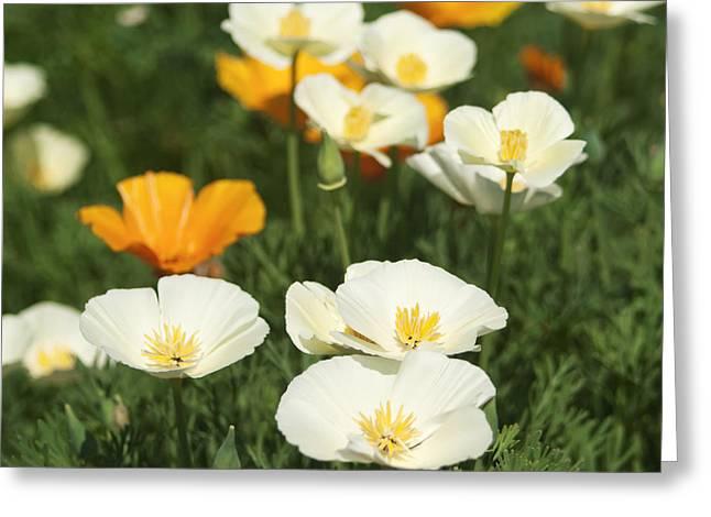 Stamen Greeting Cards - White poppies Greeting Card by Blink Images