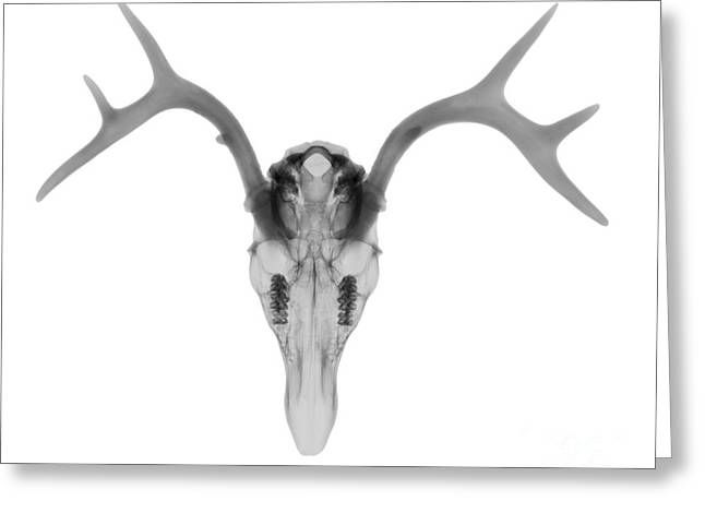 Radiograph Greeting Cards - White Tailed Deer Greeting Card by Ted Kinsman
