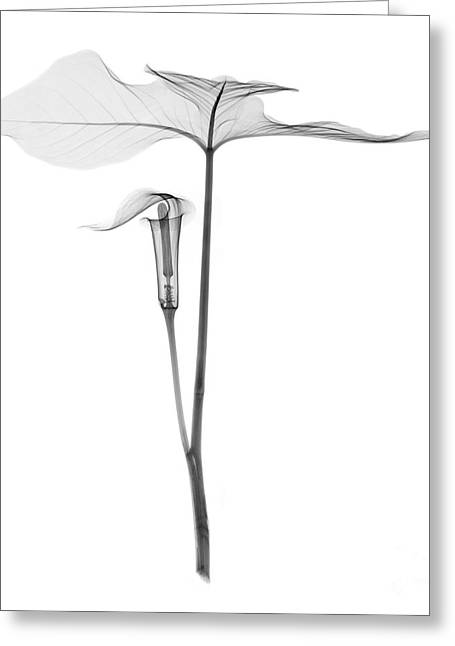 Jack In The Pulpit Greeting Cards - X-ray Of Jack-in-the-pulpit Greeting Card by Ted Kinsman