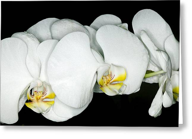 Subtle Greeting Cards - Exotic Orchids of C Ribet Greeting Card by C Ribet