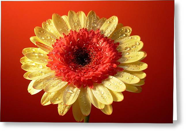 Botanical Greeting Cards - 3154-001 Greeting Card by Kimberlie Gerner