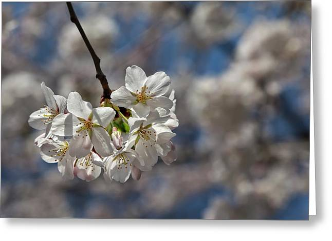 Blossoming Glass Greeting Cards - Cherry Blossoms Greeting Card by Robert Ullmann