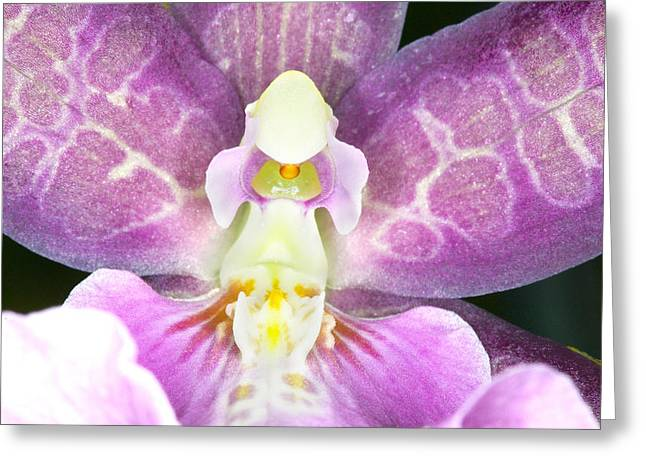 Delicate Greeting Cards - Exotic Orchids of C Ribet Greeting Card by C Ribet
