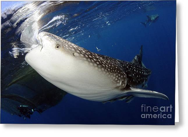 Aquatic Greeting Cards - Whale Shark Feeding Under Fishing Greeting Card by Steve Jones