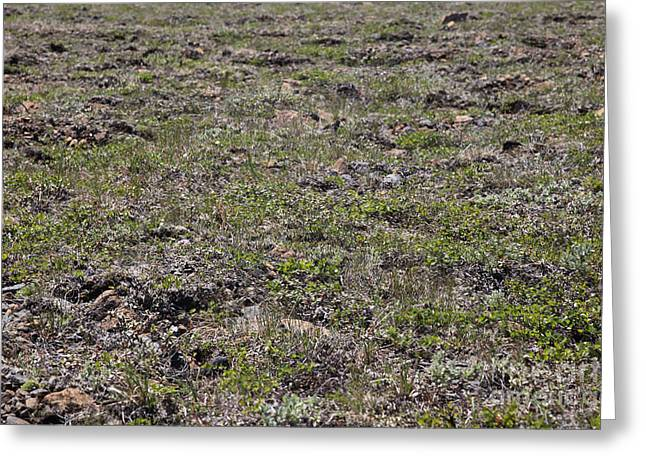 Scrubby Greeting Cards - Alpine Tundra Greeting Card by Ted Kinsman